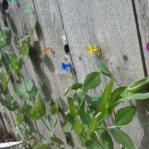 Pea plant trellis